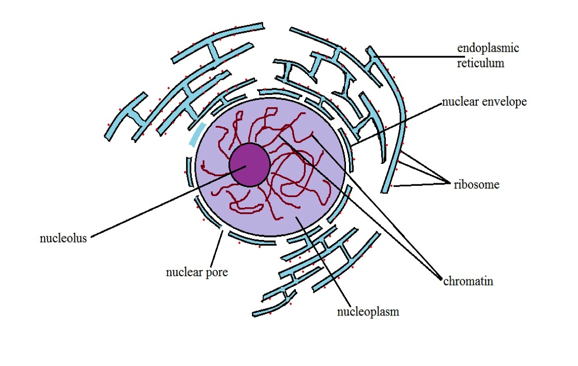 Diagrammatic representation of a nucleus