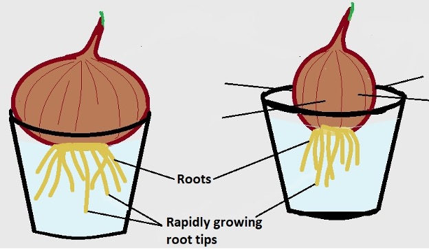 Onion root tip mitosis - growth to a length of about 1 inch. Credit: MicroscopeMaster.com