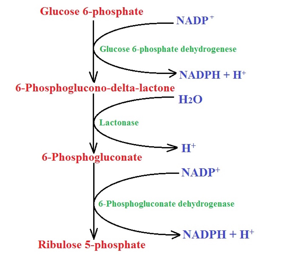 Oxidative phase of the pentose phosphate pathway by MicroscopeMaster.com