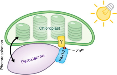 Peroxisome-chloroplast contact site by Nadav Shai, Maya Schuldiner, EinatZalckvar / CC BY-SA (https://creativecommons.org/licenses/by-sa/4.0)