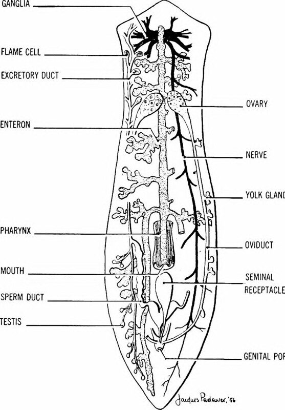 Planaria, one of free-living Platyhelminthes; diagram of internal structures, Image page 648,