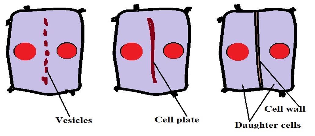 Diagrammatic representation of cytokinesis in plant cells. Credit: MicroscopeMaster.com