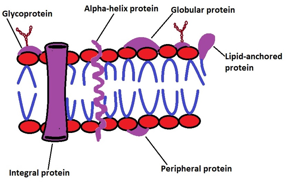 Diagrammatic representation of proteins in the cell membrane. Credit: MicroscopeMaster.com