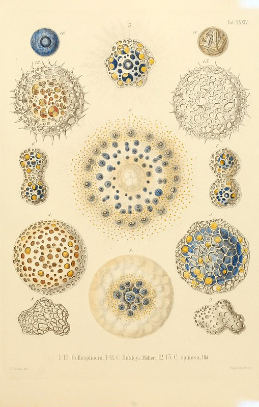 Rhizopoda radiaria: Berlin :G. Reimer,1862-1888.. biodiversitylibrary.org/page/10687563, https://creativecommons.org/licenses/by/2.0/ image unaltered.