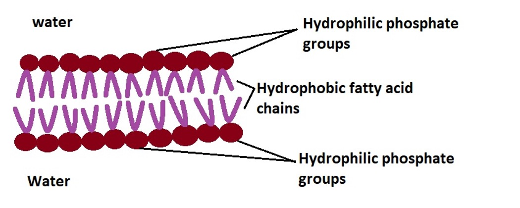 Diagrammatic representation of a section of the phospholipid bilayer. Credit: MicroscopeMaster.com