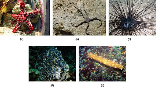 Starfish types by CNX OpenStax, CC BY 4.0 <https://creativecommons.org/licenses/by/4.0>, via Wikimedia Commons