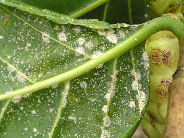 By Scot Nelson at Flickr.com: Green scale on noni colonized by Verticillium lecanii.  Biological control of a parasitic insect, occurring naturally