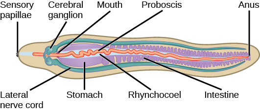 worm body diagram by CNX OpenStax, CC BY 4.0 <https://creativecommons.org/licenses/by/4.0>, via Wikimedia Commons